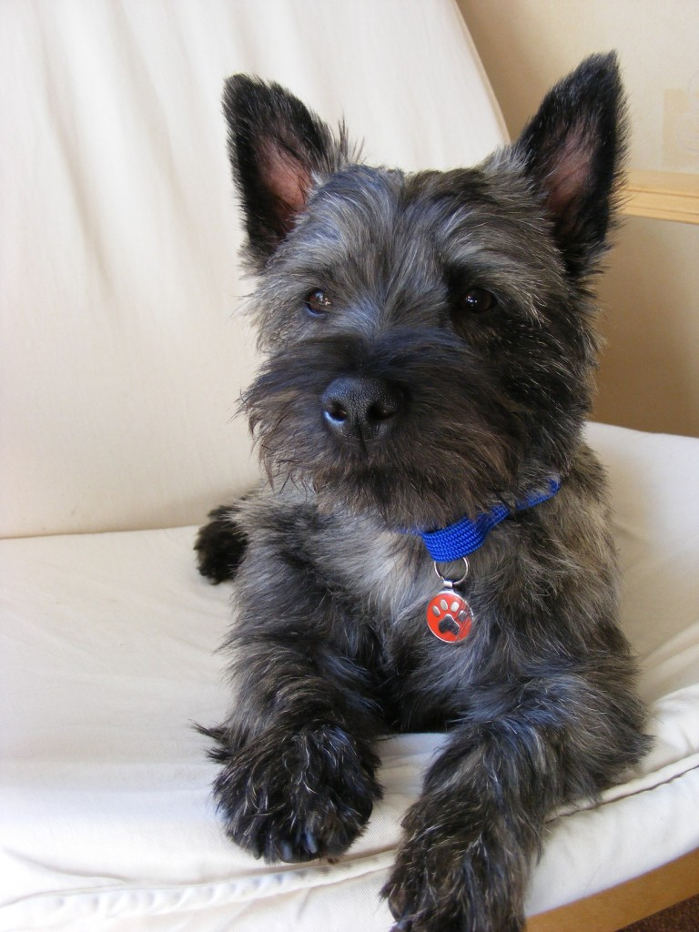 Rescue Cairns – Cairn Terrier Relief Fund