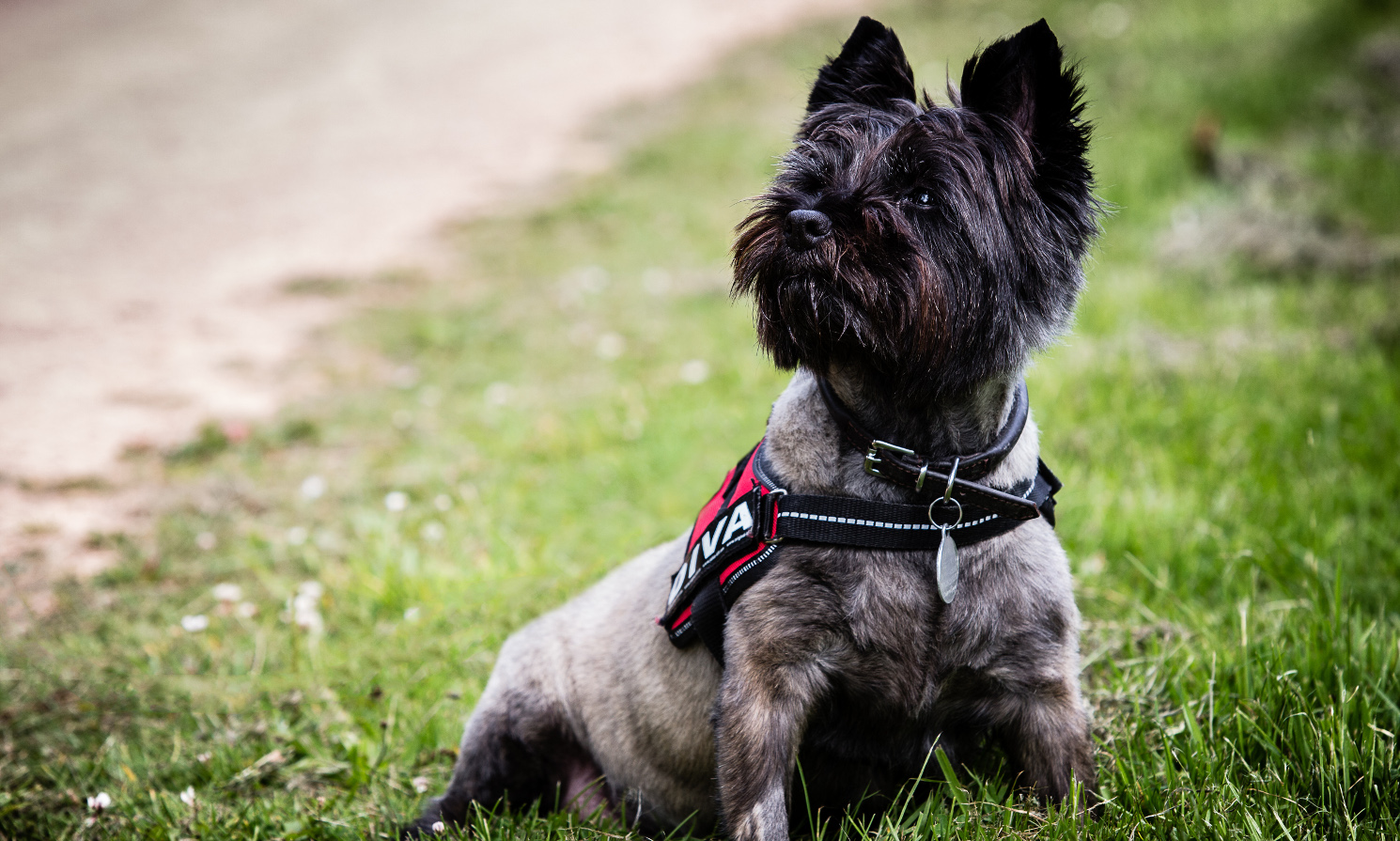 Cairn Terrier Rescue Dogs Uk