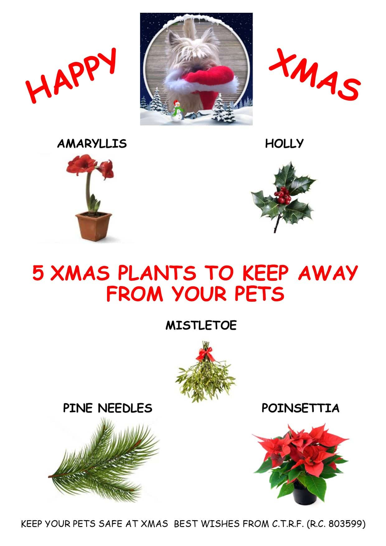5 Christmas Plants to keep away from your pets