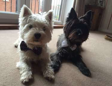 Westie and Cairn Terrier