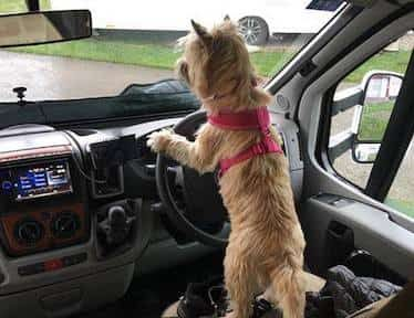 Cairn Terrier Driving Car